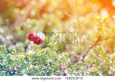 Red inedible berries in the woods. Chamaepericlymenum suecicum.