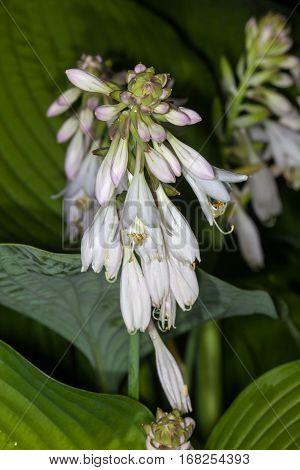 White flower Hosta in the garden in summer