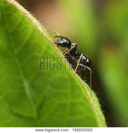 Black ant climbing green leaf macro close-up