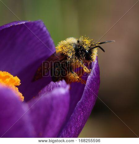 Bumblebee covered with pollen inside crocus flower macro