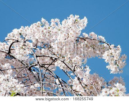 Cherry blossom branchs in Washington USA April 7 2010