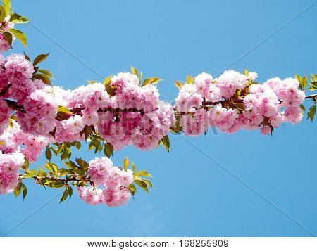 Sakura branchs in Washington USA April 7 2010