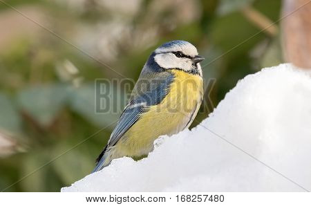 Eurasian blue tit (Cyanistes caeruleus) small passerine bird in the tit family Paridae (winter-spring)