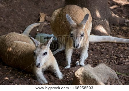 pair of northern nail-tail wallabies or onychogalea unguifera animals