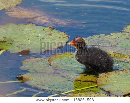 Coot Youngster on water lily leaf (Fulica atra)