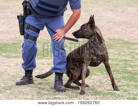 Alert police dog restrained by it's handler
