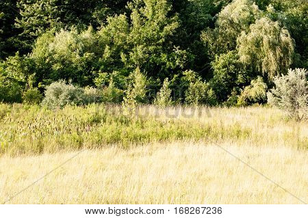 Summer Nature Forest Front. Landscape at sunset. Trees and tall grass in day sunshine. A lot of copyspace.