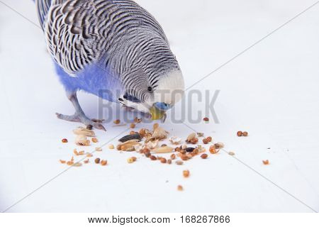 Blue Budgie Eats Grains On A White Background