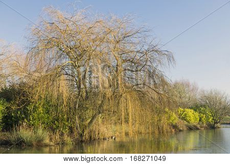 An image of a beautiful weeping willow tree by a partly frozen lake. Eye Kettleby Lakes Melton Mowbray Leicestershire England UK.