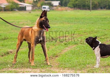 Belgian Malinois Young Puppy And French Bulldog