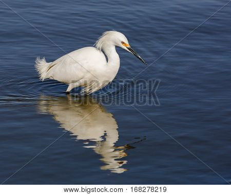 A white egret searching for fish to eat