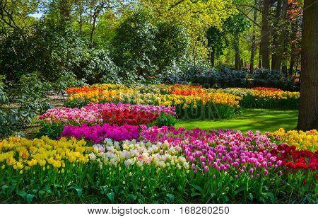 Keukenhof park in Netherlands. Colorful tulips in the Keukenhof park, Holland, Netherlands. Fresh blooming tulips in the spring garden. Spring in the Netherlands.