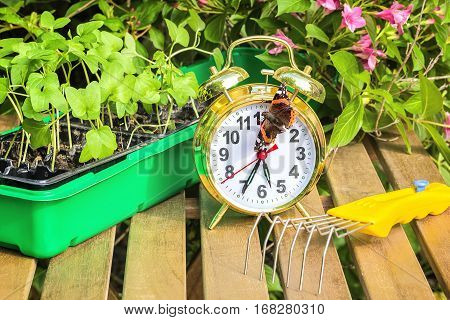 Container with the seedlings of morning glory flowers alarm clock tortoise butterflymini-ripper on a wooden table in spring garden