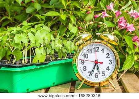 Container with the seedlings of morning glory flowers and alarm clock on a wooden table in spring garden close up