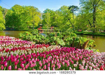 Keukenhof park in Netherlands. Flower bed of colourful tulips in spring. Colorful tulips in the Keukenhof park, Netherlands. Fresh blooming tulips in the spring garden.