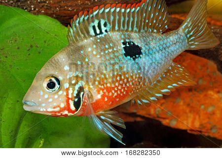 Mexican Fire Mouth (Thorichthys ellioti) - female