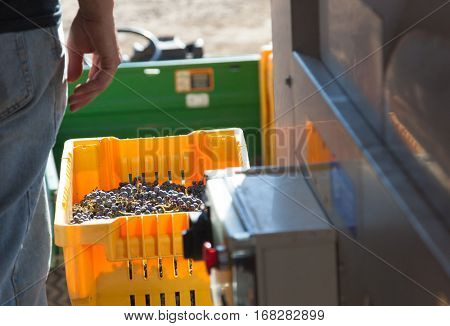 Vintner Standing Next To Crate of Freshly Picked Grapes Ready for Processing.