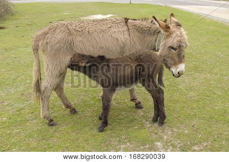Donkey standing with her foal feeding on grass at the roadside