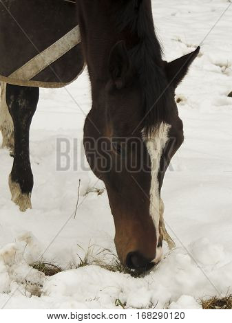 Close-up of thoroughbred horse grazing in winter with layer of snow covering the grass