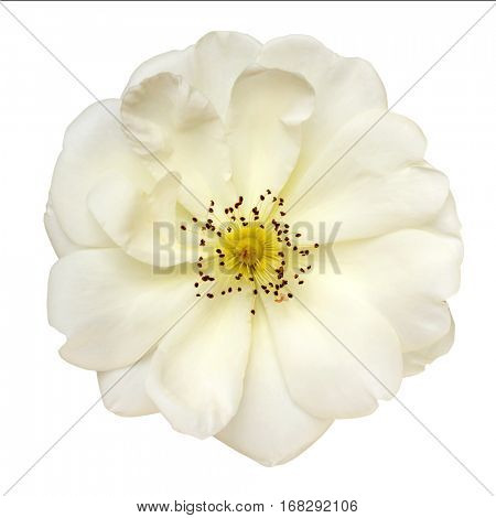 White rose, top view isolated on white.  Country variety.