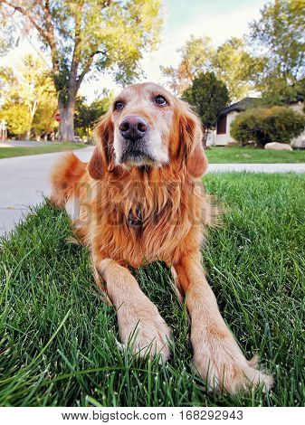 a golden retriever on a front lawn
