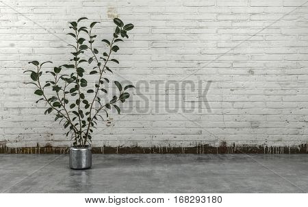 Indoor plant with green leaves in shiny pot standing on concrete floor against brick wall painted white with copy space. 3d Rendering.