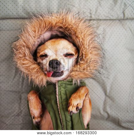 a cute chihuahua with his tongue out wearing a fur lined jacket with a hood, sometimes called a hoodie vest