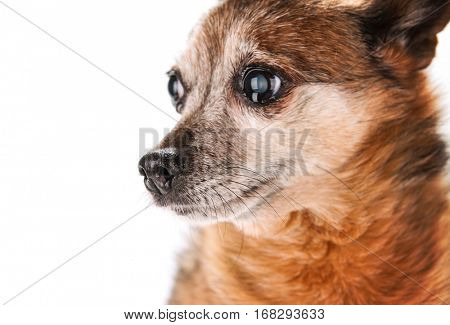 a small senior dog pouting isolated on a white background