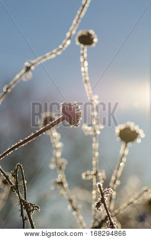 Winter Scene With Ice Covered Flower