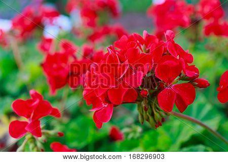 Red geraniums in a summer garden.