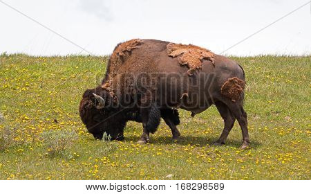 Bison Buffalo Bull grazing midday near Canyon Village in Yellowstone National Park in Wyoming USA