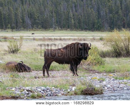 Bison Buffalo Bull Standing Next To Pebble Creek In The Lamar Valley In Yellowstone National Park In