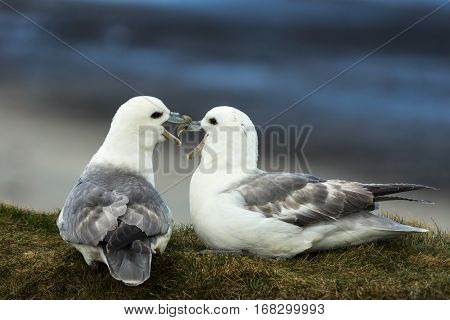 Orkneys Scotland - June 5 2012: Closeup of two white-gray seagulls quarreling with each other while seated on a dry grassy bank against the dark blue sky background. Their beaks are mingled.