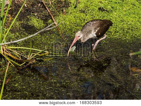 An ibis looking for food in a marshy stream