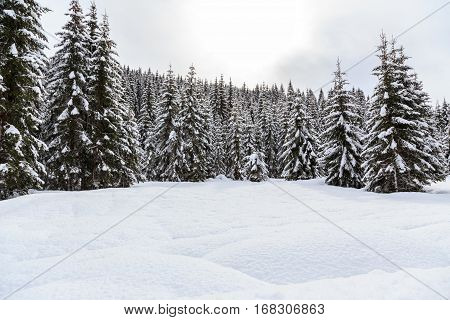 Snowy winter fir forest in Slovenia Europe