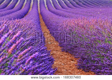 Purple lavender rows near  Valensole Provance. France