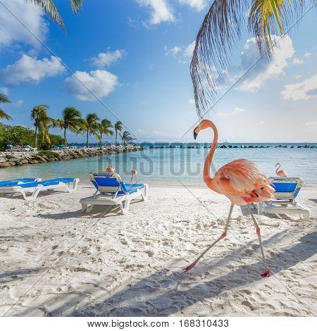 Flamingos on the Aruba beach. Flamingo beach