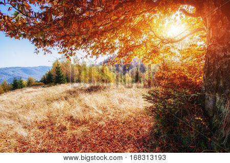 beautiful autumn mountain time in the Carpathian Mountains, the bright sun of red trees