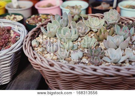 Agave Succulent Plants In Reuse Baskets, Selective Focus, Reuse Concept