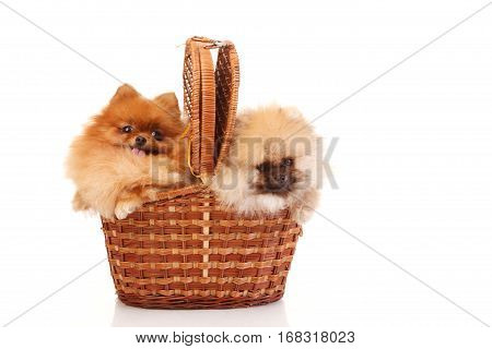 Two Pomeranian Spitzes in the wicker.Isolated on white background