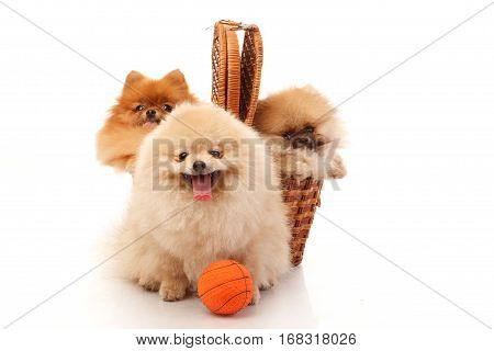 Three Pomeranian Spitzes two of them in the wicker and one with the ball