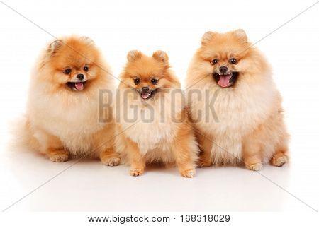 Three Pomeranian Spitzes isolated on white o