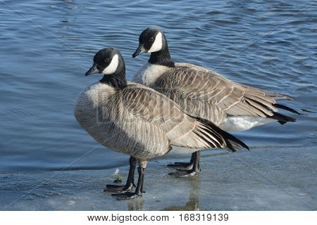 Pair of Cackling geese (Branta hutchinsii) standing on ice ledge of winter lake