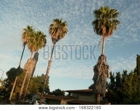 This is a wide angle view of a group of palm trees in golden light