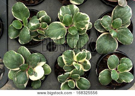 Ornamental plants in mini flowerpot for decoration.