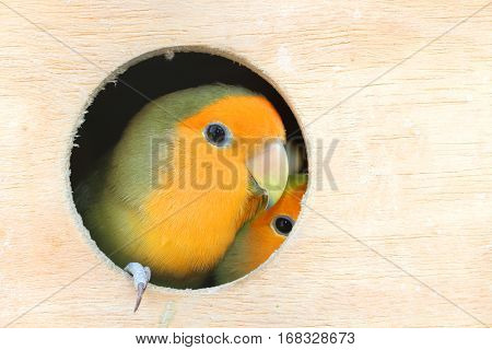 close up yellow Lovebird in a wood Cage