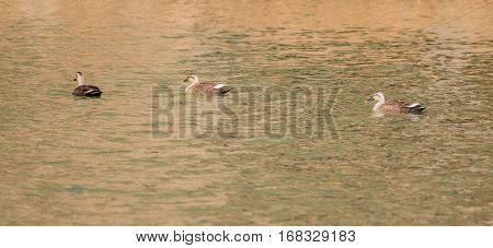 Three Eastern Spot-billed ducks swimming together in a river