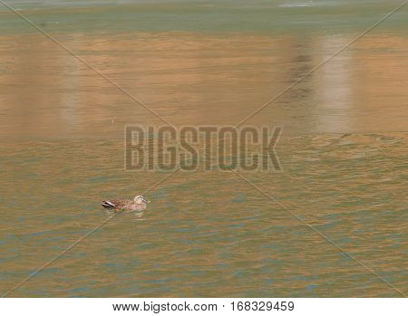 One Eastern Spot-billed ducks swimming alone in a river