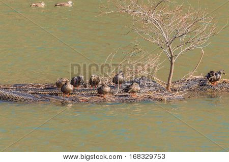 Flock of Eastern spot-billed ducks on a man-made island in the middle of a river with two ducks blurred out in the background