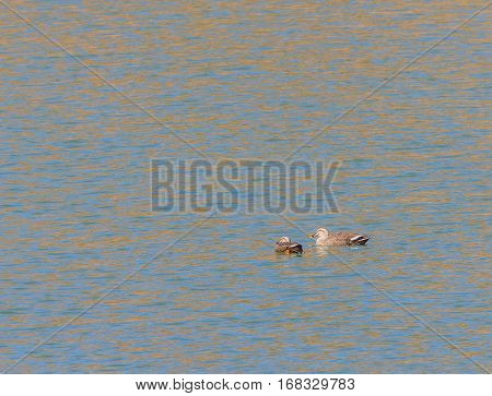 Two Eastern Spot-billed ducks swimming together in a river